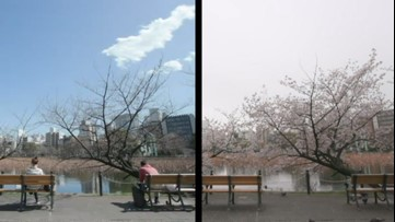 Cherry blossoms are blooming in Japan