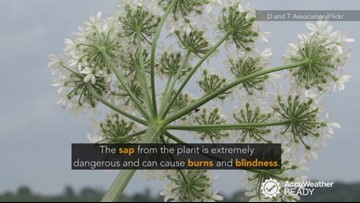 4 facts you didn't know about giant hogweed