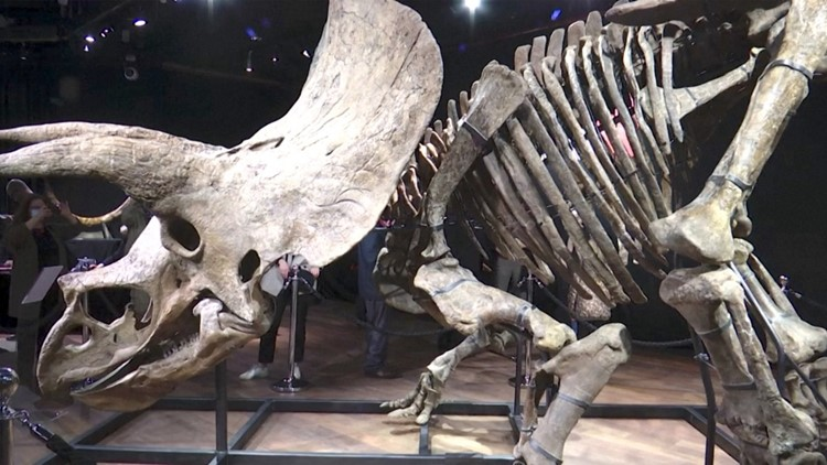 Guinness Record Holding Triceratops Fossil Goes on the Auction Block in France