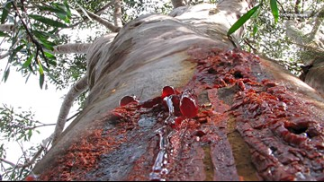 These Creepy Trees in Australia 'Bleed' When They're Cut Open