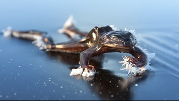 This Frog's Blood Allows it to Be Frozen Alive in Winter