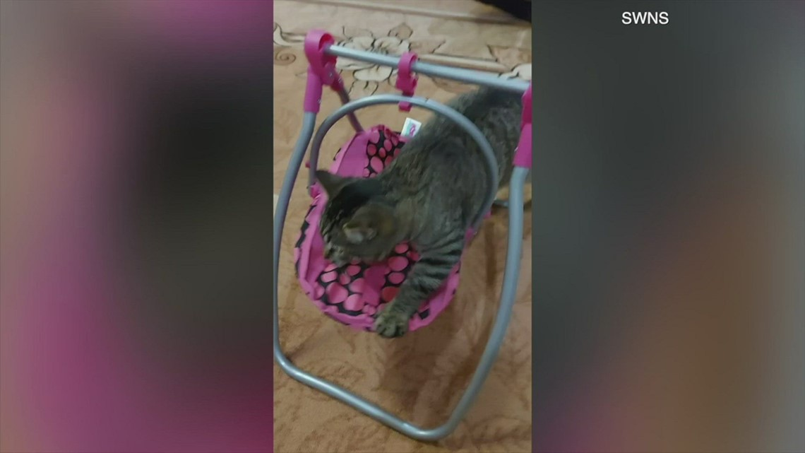 Adorable Kitty Tries and Manages To Fit In Doll's Swing As Family Laughs!