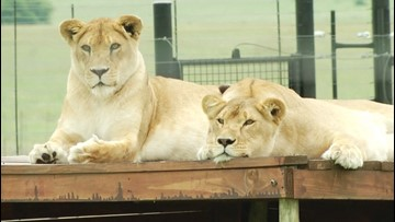 Former Circus Cats Rescued, Find New Home at Animal Sanctuary
