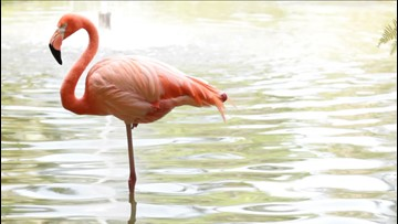 Flamingo Ends Up In One Of The Coldest Parts Of Russia!