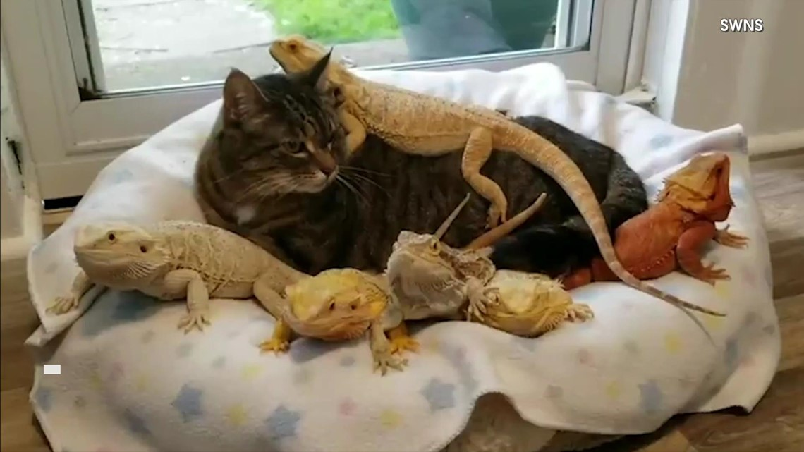 This Cat Has Some Very Unusual Friends, Including Lenny the Lizard!