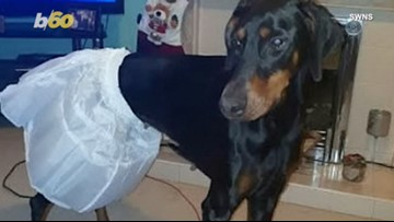 Bride-To-Be Shocked When Petticoat She Ordered Only Fits Her Dogs