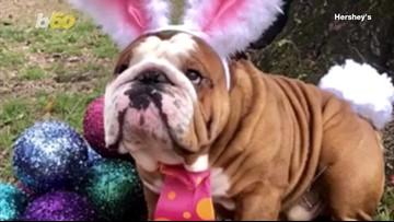 Henri the English Bulldog Wins the Cadbury 'Bunny Tryouts'
