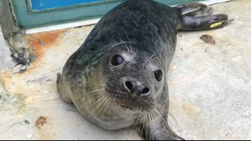 Rescued Seal Released After Being Caught in a Ghost Net