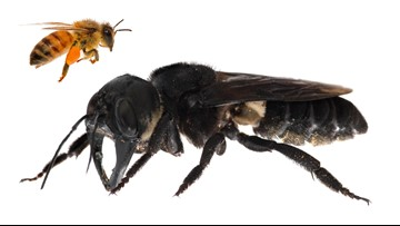 They found the 'holy grail' of bees and it's terrifying