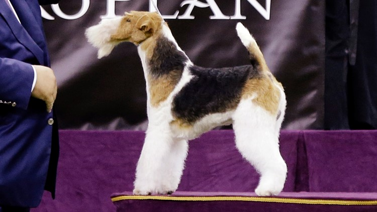 Westminster dog wire fox terrier King