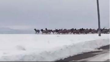 Watch 700 elk dash across snowy Oregon road