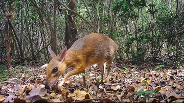 Fanged mouse-deer once thought to be extinct rediscovered in Vietnam