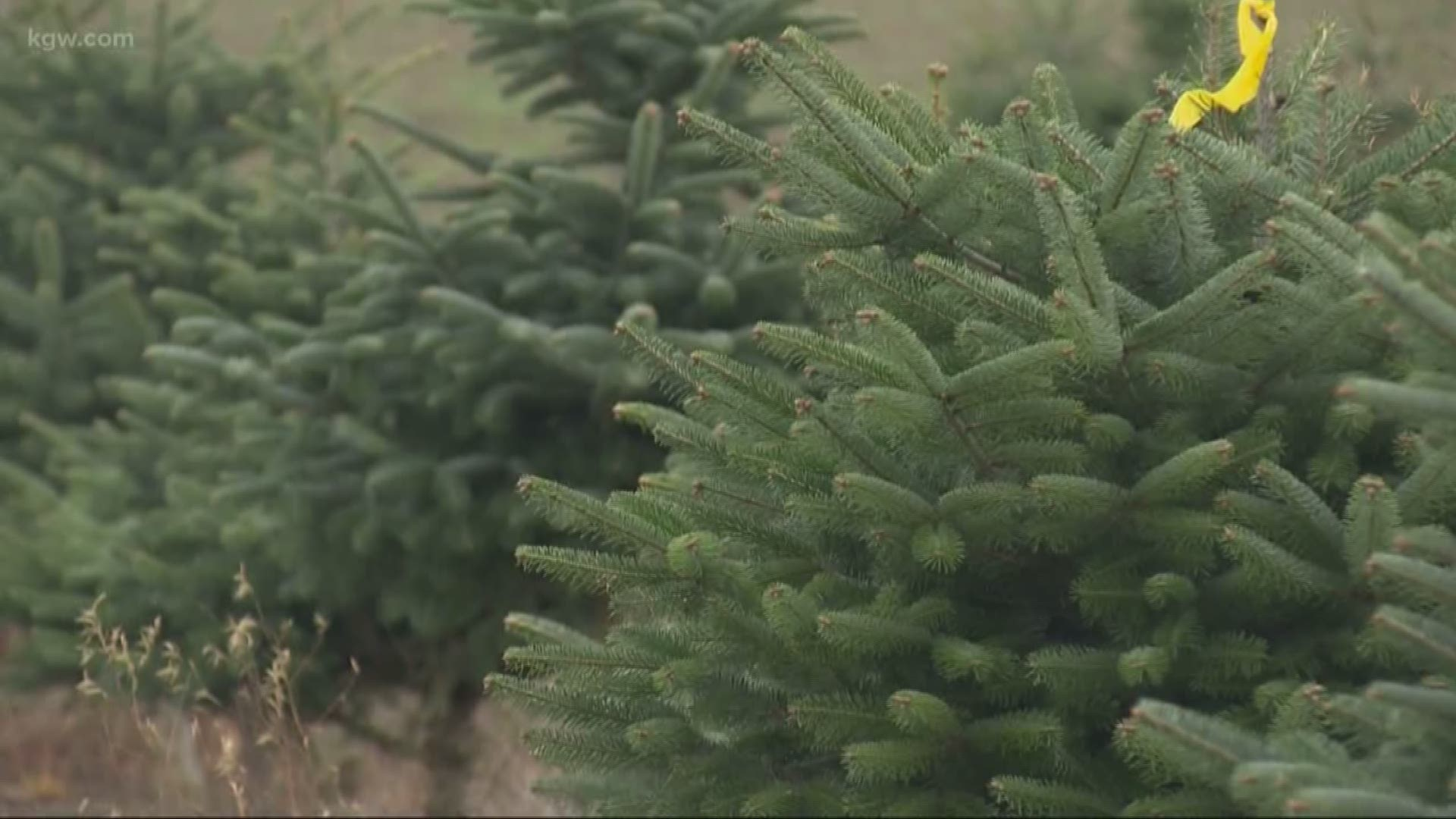 Washington State Cut Christmas Tree Shortage 2020 Christmas tree shortage in Oregon means more expensive trees | kgw.com