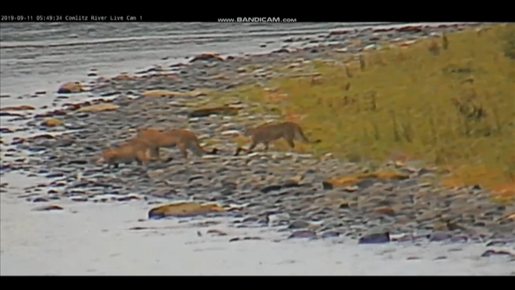 Family of cougars caught on camera in Southwest Washington's Lewis County