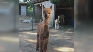 Lucky alpaca turns 1 after surviving cougar attack