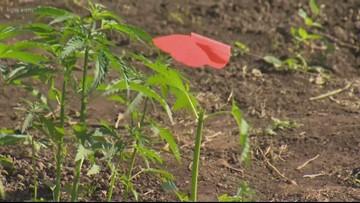 Oregon State opens hemp research facility in Aurora, Ore.