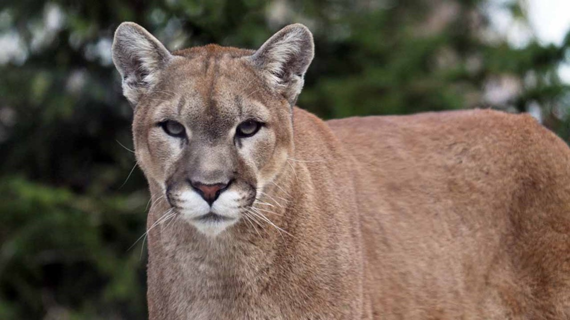 Cougar deemed a threat in Bend killed