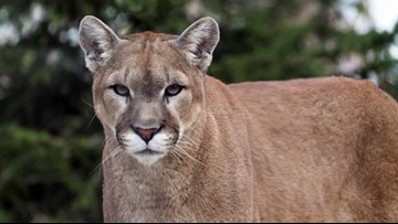Wildlife authorities plan to kill cougar near Bend