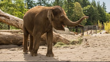 Oregon Zoo's Chendra the elephant pregnant, due in late 2020