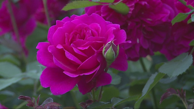 Portland's Royal Rosarian Rose Garden Contest is back for 83rd year