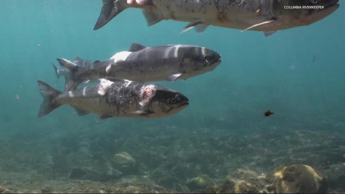 Dams must lower water temperature to help sick and dying salmon