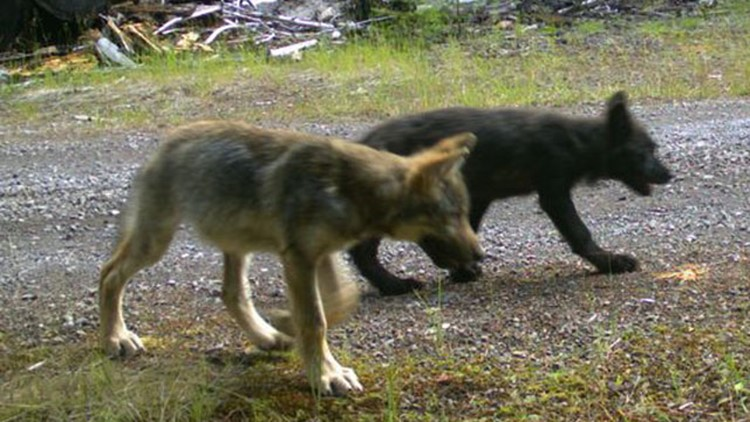 New group of wolves living in southern Oregon Cascades