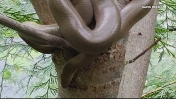Rubber boa is rare sight for hikers along Clackamas River