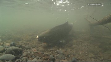 Scientists studying effects of hatchery-raised salmon on wild salmon