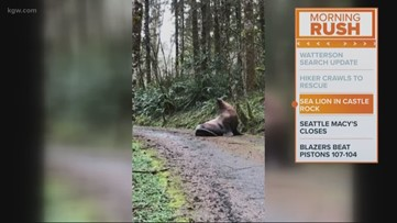 A sea lion makes its way up a forest service road in Cowlitz County, Wash.