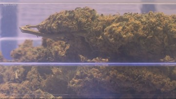 OSU studies impact of pot use on decision-making