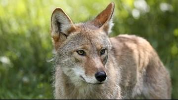 Vote on coyote-killing contests rankles Oregon Senate