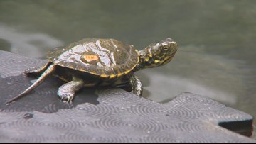 Oregon Zoo's effort to repopulate Western pond turtles