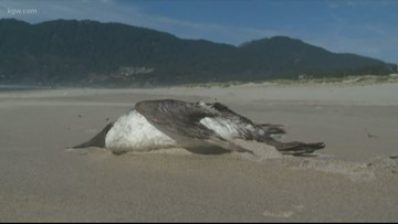 Mass seabird die-off on West Coast tied to ocean 'blob'
