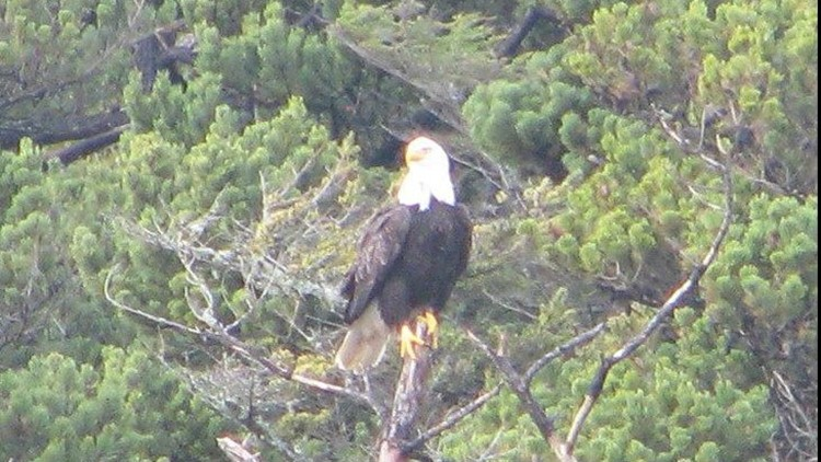OR troopers investigating after three bald eagles shot to death