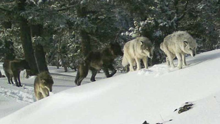 Oregon Officials Kill Two Wolves in Effort to Save Cattle