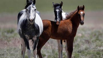 Oregon judge stops plan of sterilizing wild horses