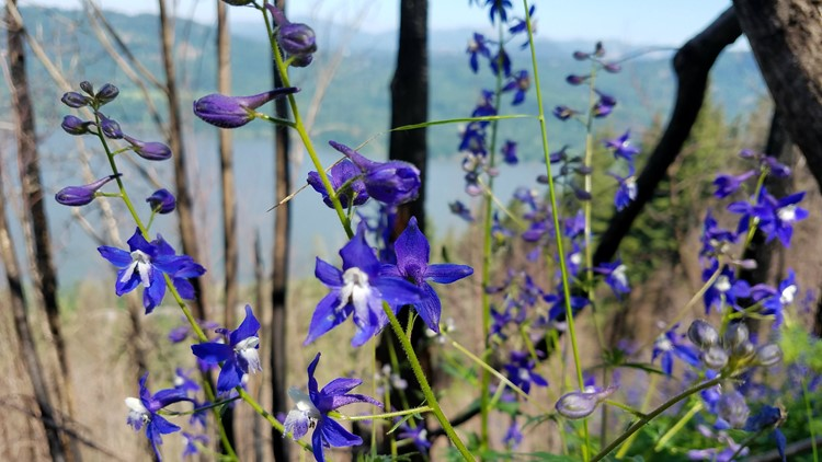 Larkspur flowers_1527127886390.jpg.jpg