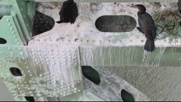 Poop from thousands of nesting cormorants damaging Astoria-Megler Bridge