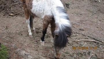 Horse, ponies, goats at risk of starving rescued in Yamhill