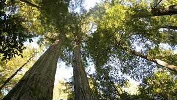 Oregon officials criticized for pesticides killing pines