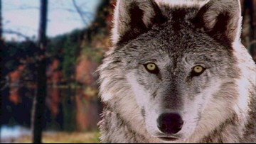 Oregon eyes plan for managing wolves to protect livestock