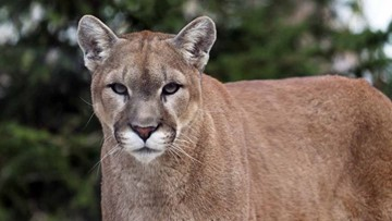Police shoot at cougar on Southern Oregon University campus