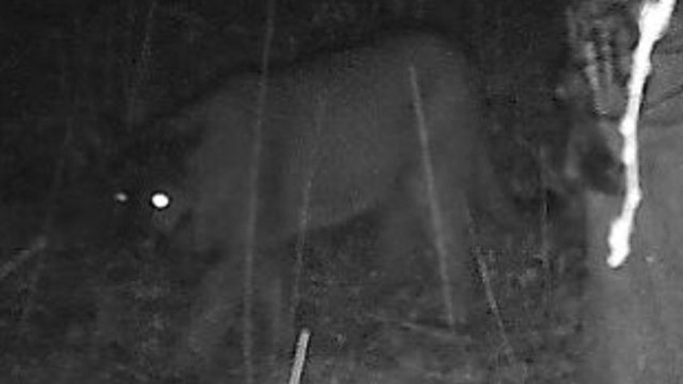 Picture of a cougar taken by a resident's game cam near Hunchback MountainCougar2_1536882310493.jpg