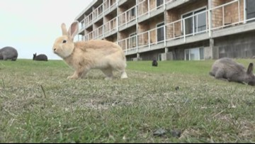 No agency has responsibility for feral Cannon Beach rabbits, city says