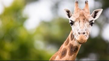 Oregon man's daughter, grandson trampled by giraffe