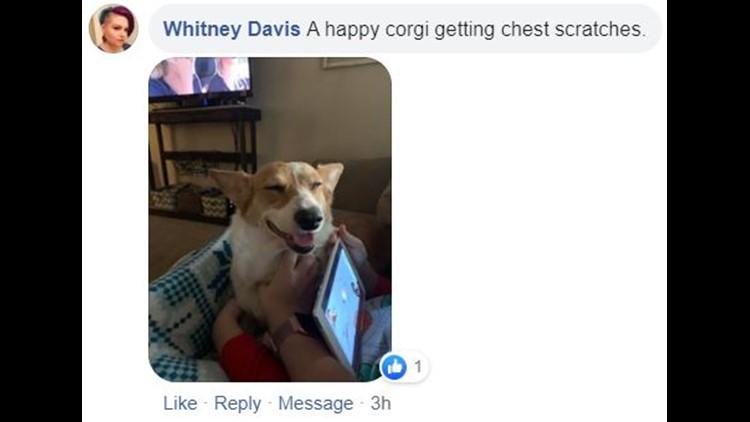 corgi facebook