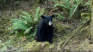 Wildlife biologists kill 'habituated' black bear seen several times near Hagg Lake