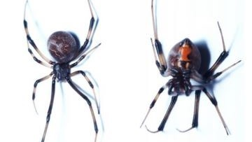 Venomous brown widow spider spotted in Oregon for first time