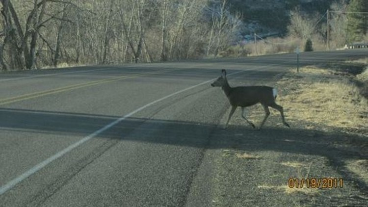Deer and elk killed in traffic accidents can be salvaged in Oregon beginning Jan. 1, 2019.c5f5d129-0f6a-4dfe-af95-7aabcbeddfb4-Deer2_1539126542004.jpg
