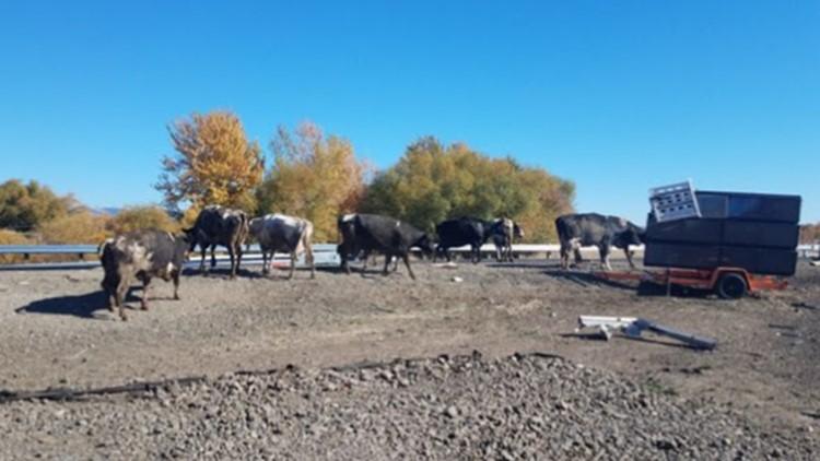 semi fatal cows crash_1539727674007.jpg.jpg